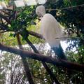 Photos: アクア・トトぎふ No - 78:木の上にいたシラサギ