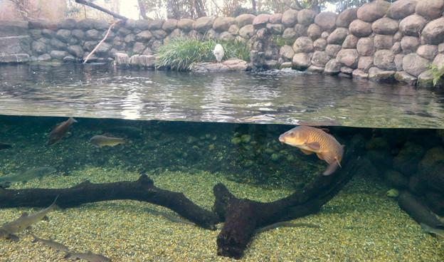 アクア・トトぎふ No - 79:魚が泳ぐところで飼われてるシラサギ