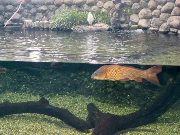アクア・トトぎふ No - 80:魚が泳ぐところで飼われてるシラサギ