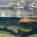 Photos: アクア・トトぎふ No - 80:魚が泳ぐところで飼われてるシラサギ