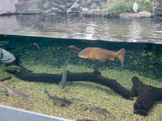 アクア・トトぎふ No - 81:魚が泳ぐところで飼われてるシラサギ