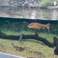 Photos: アクア・トトぎふ No - 81:魚が泳ぐところで飼われてるシラサギ