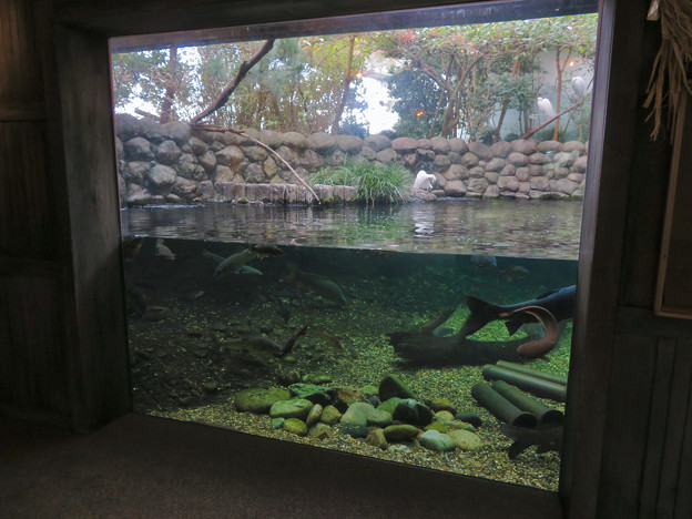 アクア・トトぎふ No - 82:魚が泳ぐところで飼われてるシラサギ