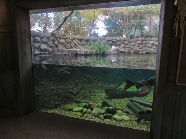 Photos: アクア・トトぎふ No - 82:魚が泳ぐところで飼われてるシラサギ
