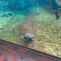 Photos: アクア・トトぎふ No - 84:水中を歩いてたカメ