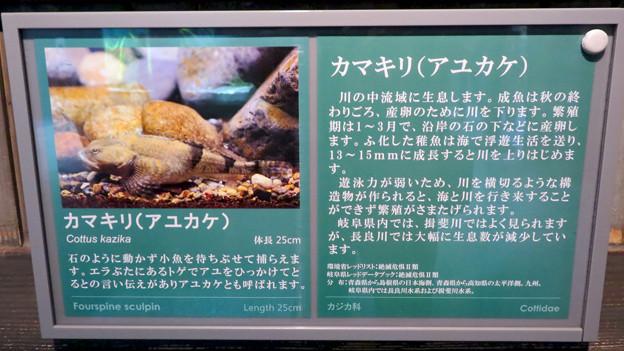アクア・トトぎふ No - 95:「カマキリ」と言う名前の岐阜県の希少淡水魚の説明
