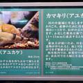 Photos: アクア・トトぎふ No - 95:「カマキリ」と言う名前の岐阜県の希少淡水魚の説明