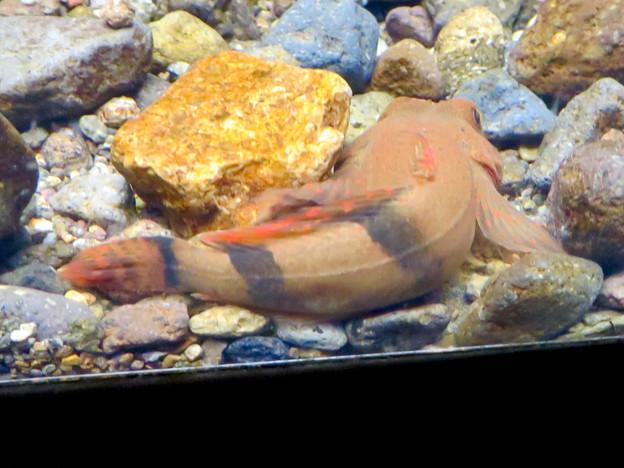アクア・トトぎふ No - 97:「カマキリ」と言う名前の岐阜県の希少淡水魚