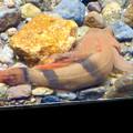 Photos: アクア・トトぎふ No - 97:「カマキリ」と言う名前の岐阜県の希少淡水魚