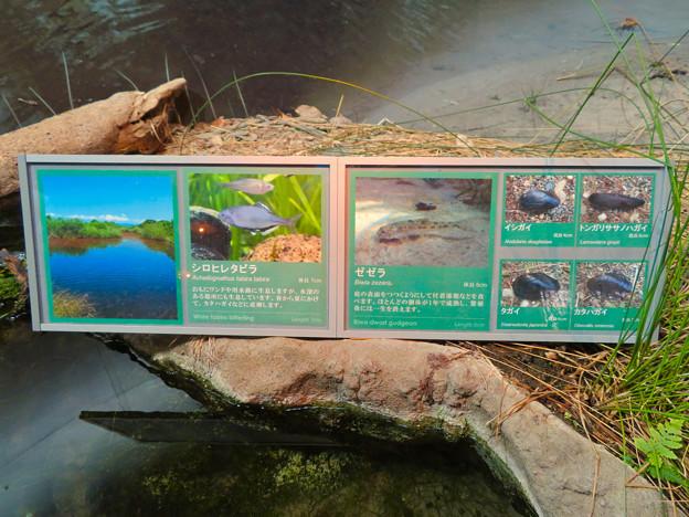 アクア・トトぎふ No - 99:外来種の展示の説明