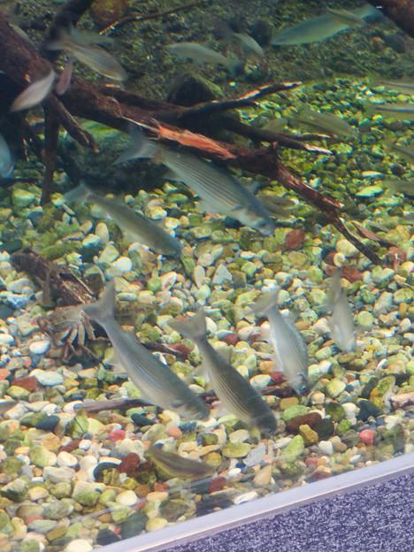 アクア・トトぎふ No - 102:水底に落ちた餌を食べる長良川下流水槽の魚
