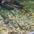 Photos: アクア・トトぎふ No - 102:水底に落ちた餌を食べる長良川下流水槽の魚