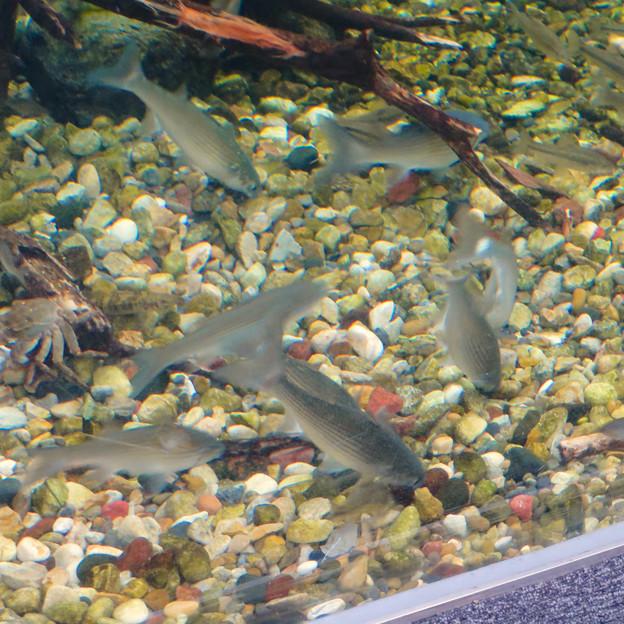 アクア・トトぎふ No - 103:水底に落ちた餌を食べる長良川下流水槽の魚