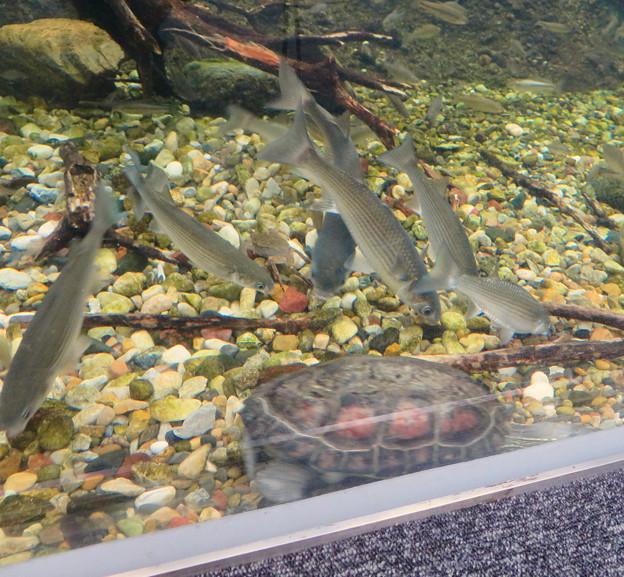 アクア・トトぎふ No - 104:水底に落ちた餌を食べる長良川下流水槽の魚とカメ