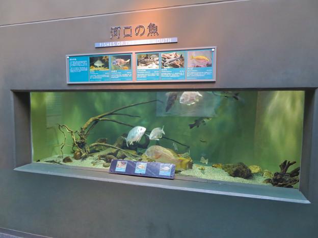 アクア・トトぎふ No - 110:長良川河口の魚が展示された水槽