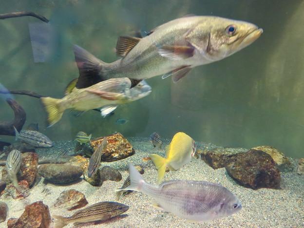 アクア・トトぎふ No - 111::長良川河口の魚