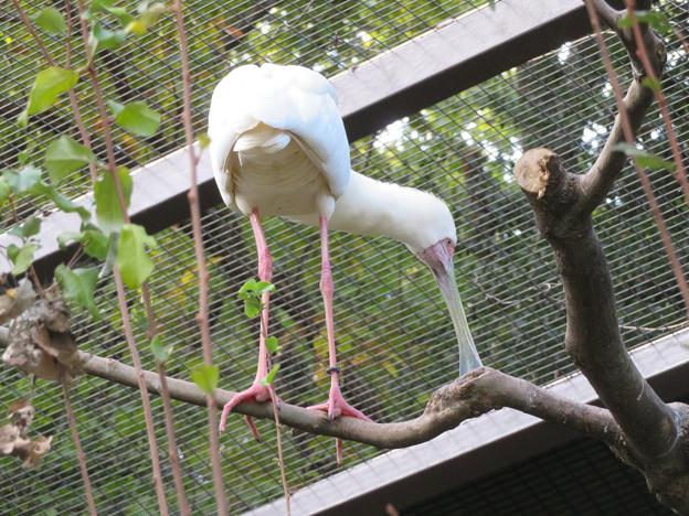 東山動植物園バードホール - 2:木の上にいたアフリカヘラサギ
