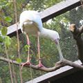 Photos: 東山動植物園バードホール - 2:木の上にいたアフリカヘラサギ