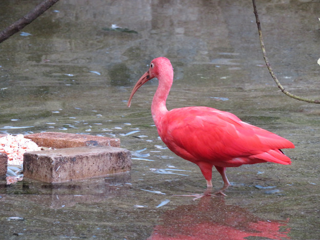 東山動植物園バードホール - 5:ショウジョウトキ