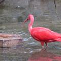 Photos: 東山動植物園バードホール - 5:ショウジョウトキ