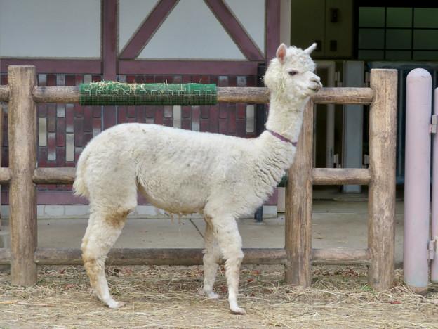 東山動植物園こども動物園 - 5:アルパカ