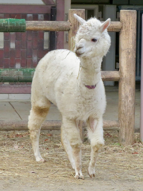 東山動植物園こども動物園 - 6:アルパカ