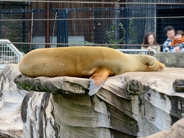 東山動植物園:とても気持ちよさそうに寝てたアザラシ - 1