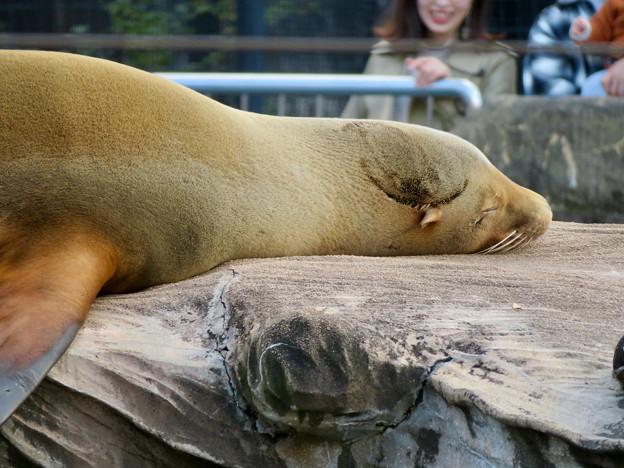 東山動植物園:とても気持ちよさそうに寝てたアザラシ - 2