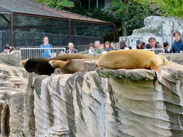 東山動植物園:とても気持ちよさそうに寝てたアザラシ - 3