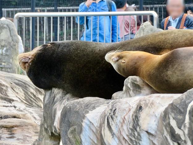 東山動植物園:とても気持ちよさそうに寝てたアザラシ - 4