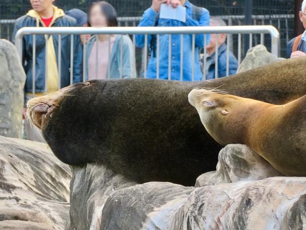 東山動植物園:とても気持ちよさそうに寝てたアザラシ - 5