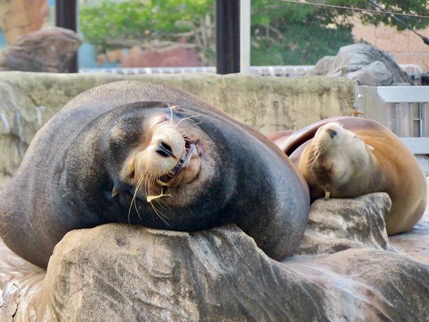 東山動植物園:とても気持ちよさそうに寝てたアザラシ - 6