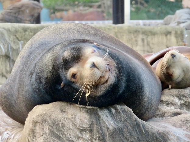 東山動植物園:とても気持ちよさそうに寝てたアザラシ - 7