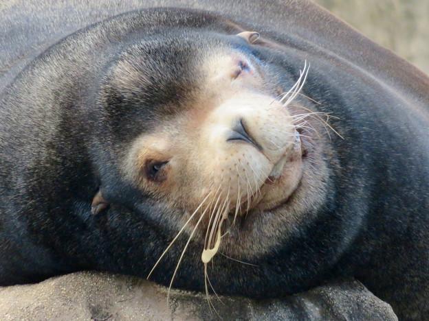 東山動植物園:とても気持ちよさそうに寝てたアザラシ - 8