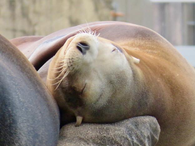 東山動植物園:とても気持ちよさそうに寝てたアザラシ - 9