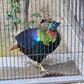 東山動植物園:ニジキジ - 1