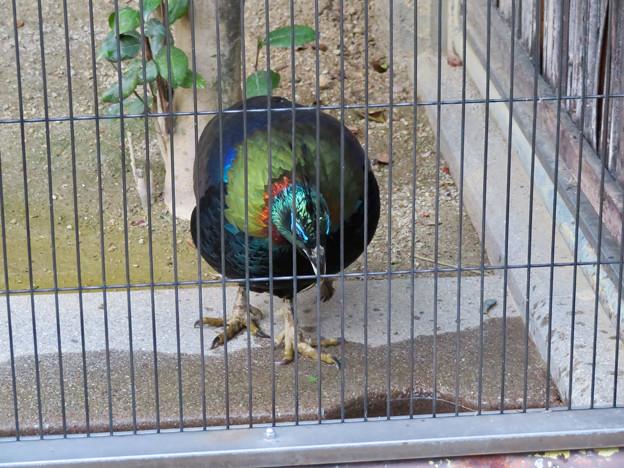 東山動植物園:ニジキジ - 3