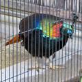 東山動植物園:ニジキジ - 5