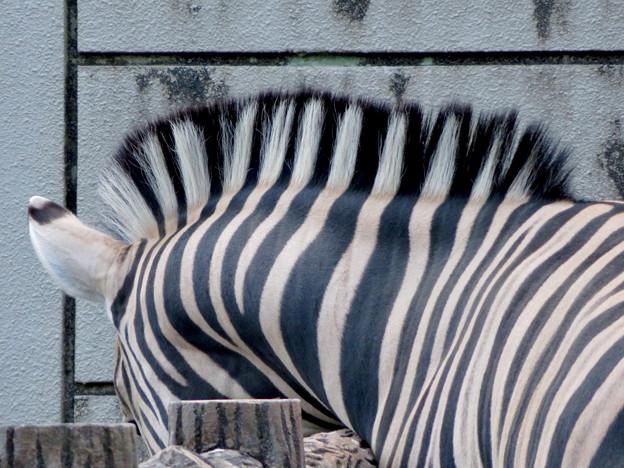 東山動植物園:立派なモヒカンのシマウマ - 2