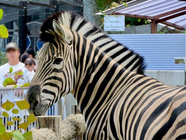 東山動植物園:立派なモヒカンのシマウマ - 3