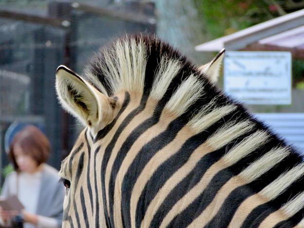 東山動植物園:立派なモヒカンのシマウマ - 5