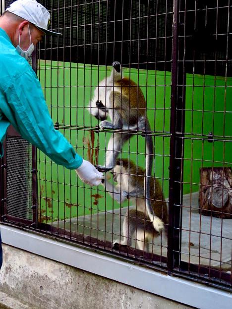 東山動植物園:飼育員さんからオヤツをもらうサバンナモンキー - 1