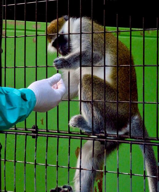 東山動植物園:飼育員さんからオヤツをもらうサバンナモンキー - 2