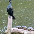 Photos: 東山動植物園:上池にいた野生のカワウとカメ - 1