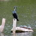 Photos: 東山動植物園:上池にいた野生のカワウとカメ - 2
