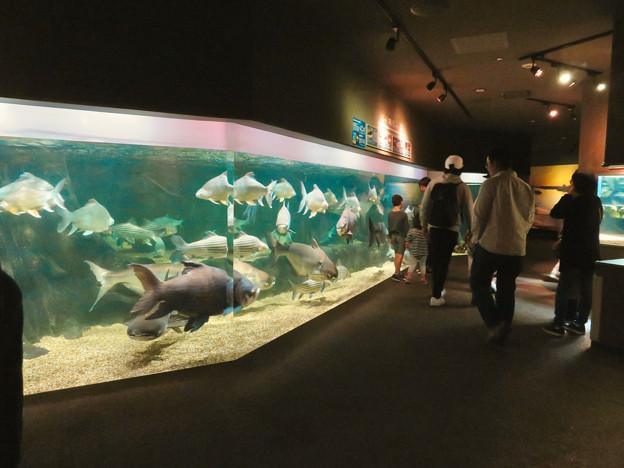 アクア・トトぎふ No - 140:メコン川に生息する巨大な魚が沢山泳いでた2階の水槽