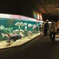 Photos: アクア・トトぎふ No - 140:メコン川に生息する巨大な魚が沢山泳いでた2階の水槽