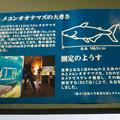 Photos: アクア・トトぎふ No - 146:メコンオオナマズの大きさ測定方法の説明