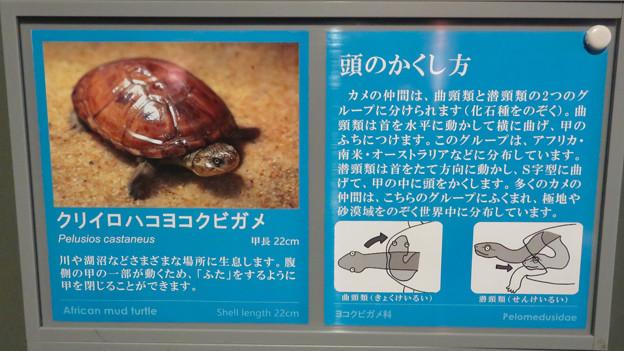 アクア・トトぎふ No - 163:クリイロハコヨコクビガメの頭の隠し方
