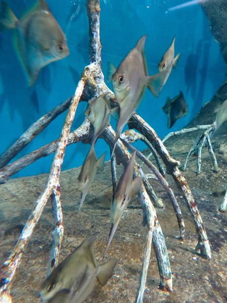 アクア・トトぎふ No - 170:「モノダクティルス・セベエ」と言う薄くて尖った魚